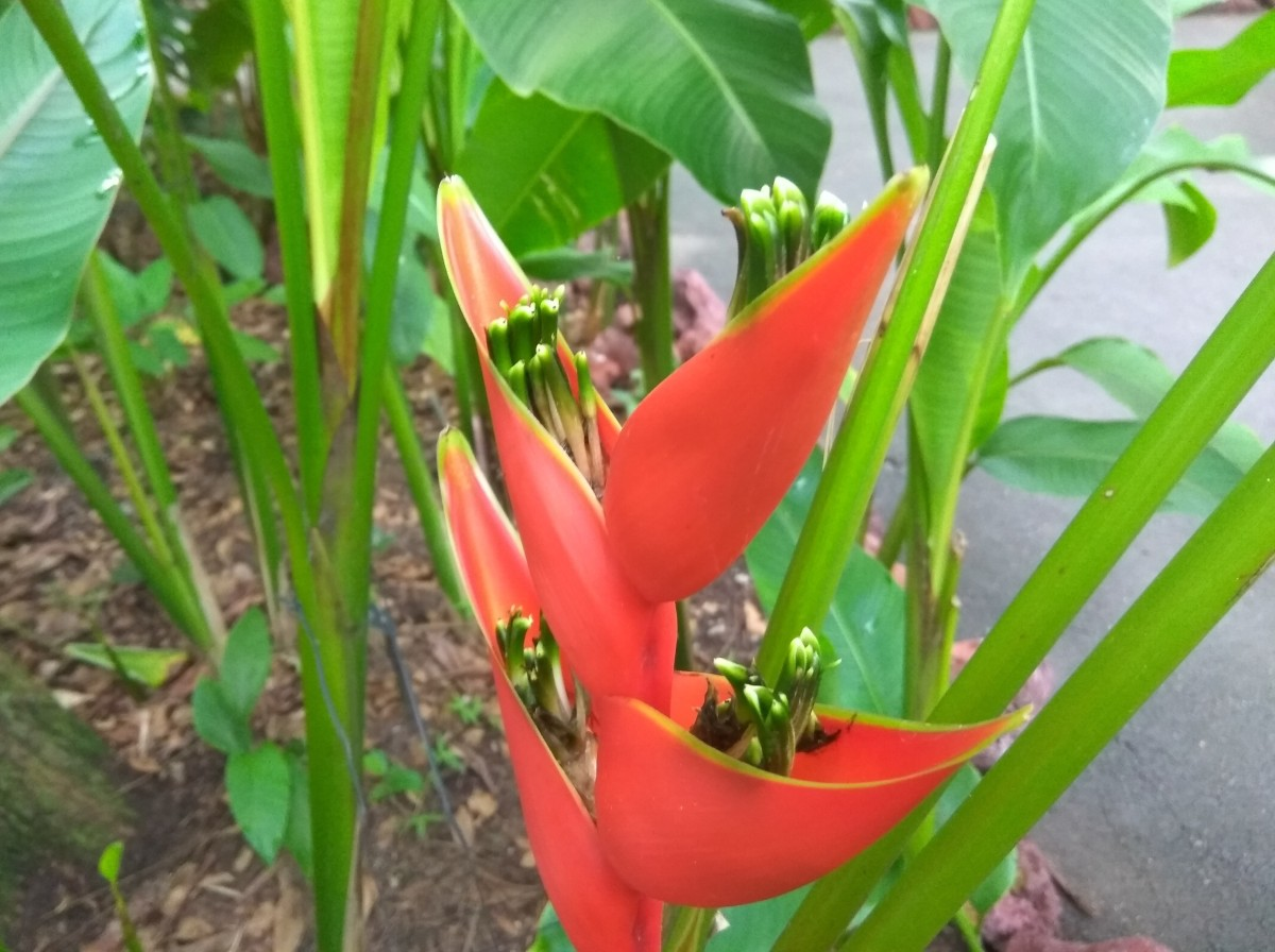 Share Your World: Heliconia Caribaea