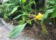 Scientific name: Musella lasiocarpa