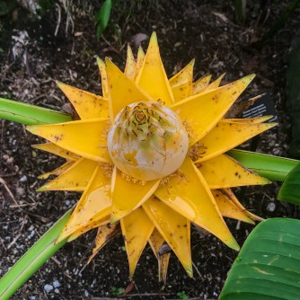 Golden Lotus Banana Flower