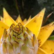 This is an ornamental flower - no Bananas as we know it to be had