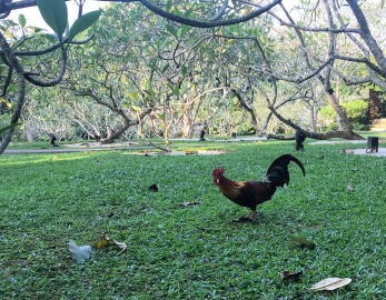 Jungle fowl busy looking for brekkie.