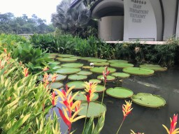 Ginormous lily pads at the Symphony Lake