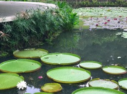 The smaller, more commonly seen lily pads in the back